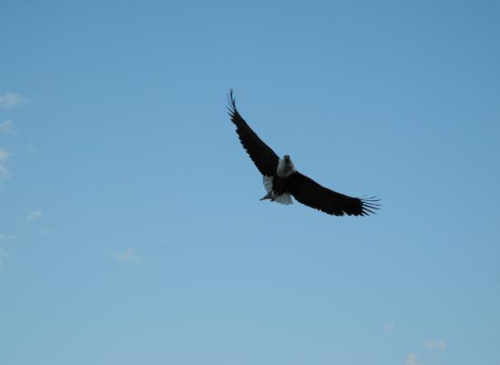 Feeding Fish Eagles on Lake Malawi