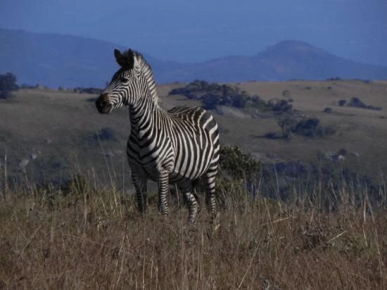 Safari at Nyika Nat'l park